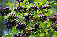 Schwarzer Holunder, Frucht, Früchte, Fliederbeeren, Fliederbeere, Beere, Beeren, Sambucus nigra, Elder, Common Elder, Elderberry, European elder, European elderberry, fruit, Le Grand Sureau, le Sureau commun, le Sureau noir