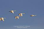 Tundra Swans in flight, Cygnus columbianus