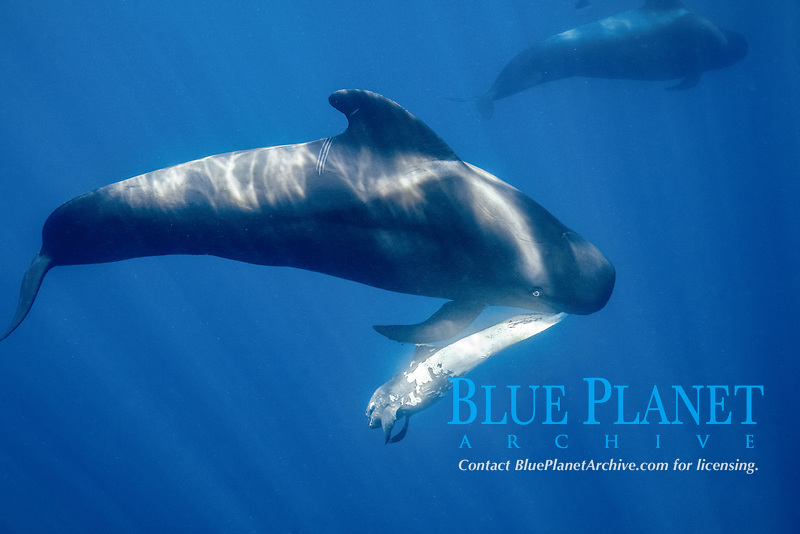 Short-finned pilot whale (Globicephala macrorhynchus) female carrying dead calf, South Tenerife, Canary Islands, Atlantic Ocean