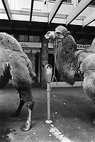 """Switzerland. Zürich. Camels tied up to parking meters before the start of the parade for the """"Sechseläuten"""" which celebrates the end of the winter.  © 1991 Didier Ruef"""