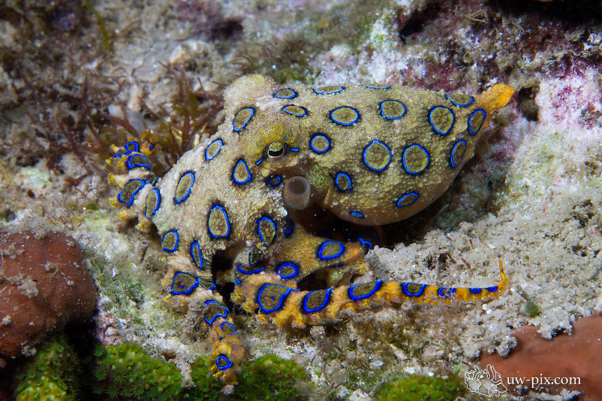 Greater Blue-ringed Octopus (Hapalochlaena lunulata) sitting on coral in Lembeh Strait. The  Hapalochlaena lunulata is often found here in Lembeh moving over corals, whereas his cousin, the Hapalochlaena sp. usually moves over sandy bottoms. The two look very similar, but the Hapalochlaena lunulata has larger rings on the body.
