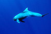 pygmy killer whale, Feressa attenuata, Big Island, Hawaii, Pacific Ocean