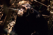 Mahale Mountains, Tanzania. Chimpanzee eating a leaf.