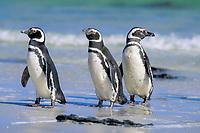 Magellanic penguins, Spheniscus magellanicus, Carcas Island, Falkland Islands, British Overseas Territories, United Kingdom, South Atlantic, Atlantic