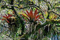 Bromeliads (Bromeliaceae) on moss-covered tree in montane rainforest or cloud forest, Madidi National Park, La Paz, Bolivia.