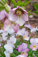 Helleborus Painted Bunting hellebore flower pink with red markings with Viola Gem 'Pink Antique' color theme harmonious plant combination of flowers, protogynous hellebore bloom