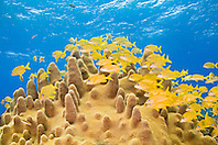 schooling French grunts, Haemulon Flavolineatum, and smallmouth grunts, Haemulon chrysargyreum, over pillar coral, Dendrogyra cylindrus, Sugar Wreck - remains of an old sailing ship grounded many years ago, Grand Bahamas, Bahamas, Atlantic Ocean