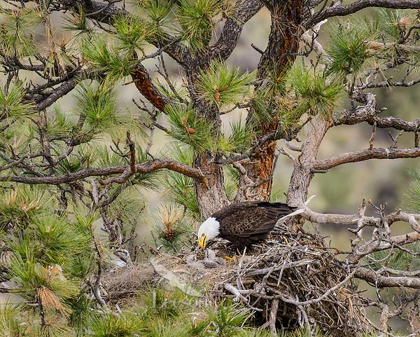 Bald Eagle Nest (Haliaeetus leucocephalus)--adult feeding two week old eaglets in tall ponderosa pine tree.  Oregon.  April.