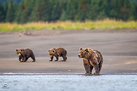 Mother Brown Bear makes her way from the woods to the dinner table - the shallows of The Cook Inlet at low tide.  Her cubs know enough to get out of mom's way.