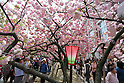 Cherry Blossoms in Osaka