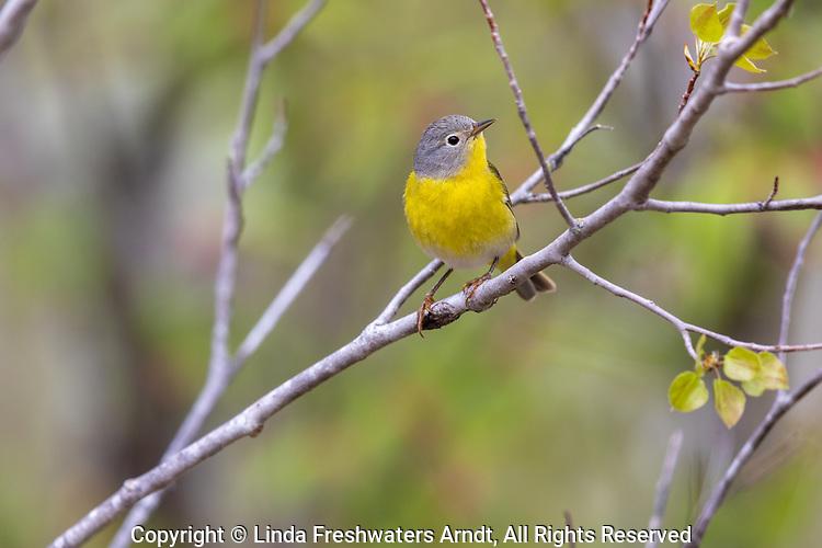 Male Nashville warbler perched in a spring forest.