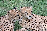 Cheetahs, Fort Worth Zoo