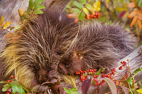 Porcupine mom with young (Erethizon dorsatum) feeding on mountain ash.  Montana.  Fall.