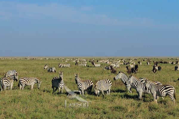 Zebra and wildebeest on the Serengeti Plains of Tanzania.