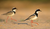 This was my first time seeing the handsome Pied lapwing (Pied plover), which we found on a sandy riverbank in the Pantanal.
