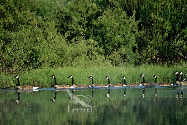 Canadian Geese (Branta canadensis).  Western U.S., early summer.