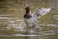 Male Canvasback duck flapping wings with water droplets and feathers flying and water on beak
