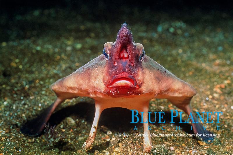 red-lipped batfish, or Galapagos batfish, Ogcocephalus darwini, Galapagos Islands, Ecuador, East Pacific Ocean