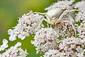 White form of Goldenrod Crab Spider {Misumenia vatia} camouflaged on umbelliferae flowers where it waits to ambush its prey. Midi-Pyrenees,  Pyrenees, France. August.