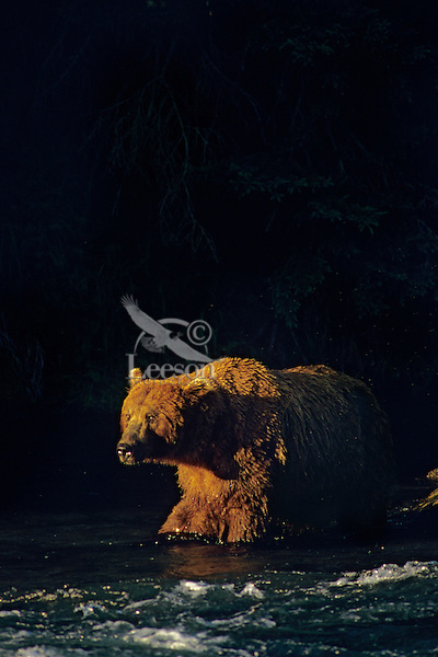 Grizzly bear (Ursus arctos) in late evening light, Alaska.