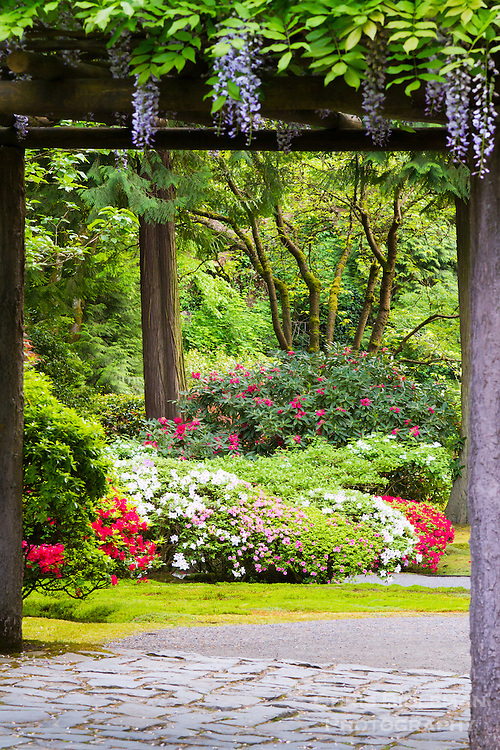 A wooden arbor covered with blooming wisteria leads the way into a garden of azaleas and rhododendrons in full Spring bloom with Japanese maples in the background as seen in the Portland Japanese Garden