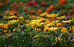 Yellow flowers in front of a field of orange flowers in a greenhouse