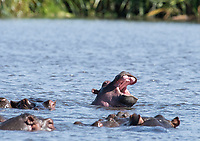 A Hippopotamus, Hippopotamus amphibius, lifts its head and yawns in a pond in Ngorongoro Crater, Ngorongoro Conservation Area, Tanzania