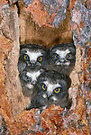 Northern saw-whet owlets in nest cavity, Washington
