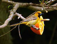 First-year male orchard oriole