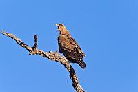 Tawny Eagle, Kruger NP, SA