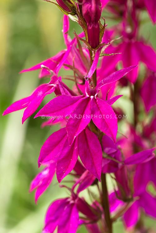 Lobelia 'Russian Princess', nativar of Lobelia cardinalis cardinal flower