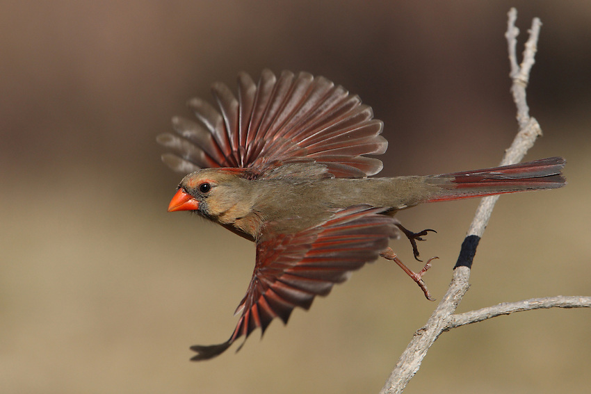 Northern Cardinal female on a sunny day in January 2014.