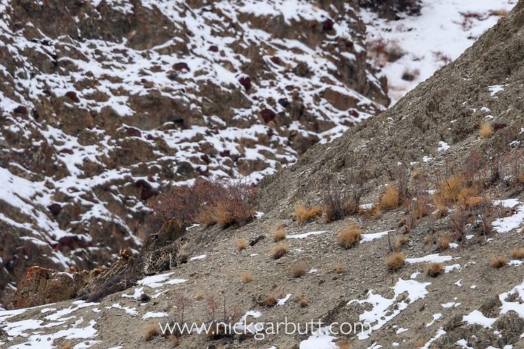 Male snow leopard (Panthera uncia)(formerly Uncia uncia) moving across mountain slope. Ladakh Ranges, Himalayas, Ladakh, India.