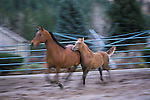 Horses running in a corral on a Montana ranch