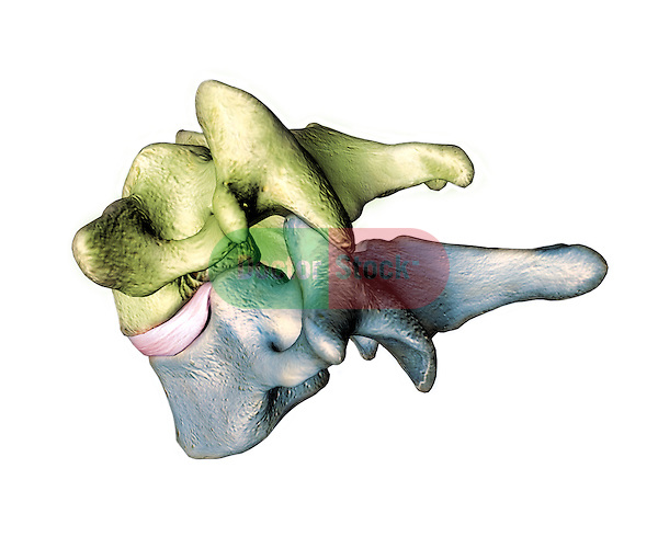 normal articulation of C6 and C7 - lateral view