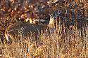 00275-195.06 White-tailed Deer (DIGITAL) doe is in overgrown clear-cut during fall.  Regrowth, logging, feed, hunting.  H6R1
