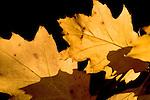 Europa, DEU, Deutschland, Nordrhein Westfalen, NRW, Rheinland, Niederrhein, Herbst, Blaetter, Blattverfaerbung, Kategorien und Themen, Natur, Umwelt, Pflanzen, Pflanzenkunde, Botanik, Biologie, ....[Fuer die Nutzung gelten die jeweils gueltigen Allgemeinen Liefer-und Geschaeftsbedingungen. Nutzung nur gegen Verwendungsmeldung und Nachweis. Download der AGB unter http://www.image-box.com oder werden auf Anfrage zugesendet. Freigabe ist vorher erforderlich. Jede Nutzung des Fotos ist honorarpflichtig gemaess derzeit gueltiger MFM Liste - Kontakt, Uwe Schmid-Fotografie, Duisburg, Tel. (+49).2065.677997, ..archiv@image-box.com, www.image-box.com]