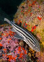 Pyjama Shark, lined catshark, Poroderma africanum, Miller's Point, Simon's Town, Cape Province, South Africa.