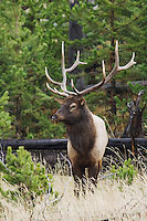 Elk, Wapiti, Cervus elaphus, bull,  Yellowstone NP,Wyoming, USA