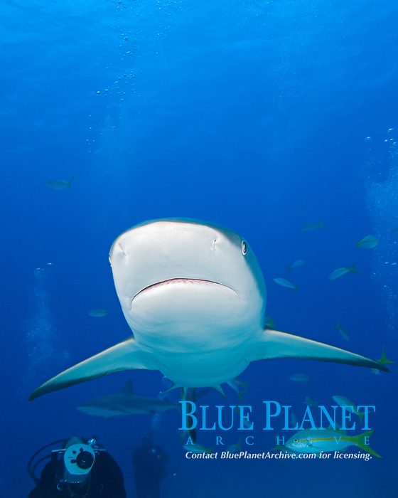 Caribbean Reef Sharks, Carcharhinus perezii, with scuba divers, West End, Grand Bahamas, Atlantic Ocean