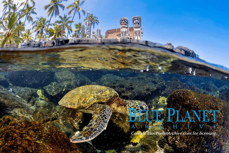 split image of green sea turtle, Chelonia mydas, two Hawaiian Tiki god carvings Hale O Keawe Heiau and coconut palm trees, Puuhonua O Honaunau (formerly known as City of Refuge) National Historical Park, Honaunau Bay, Kona Coast, Big Island, Hawaii, USA, Pacific Ocean