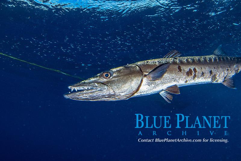 great barracuda, Sphyraena barracuda, Little Cayman, Cayman Islands, Caribbean Sea, Atlantic Ocean