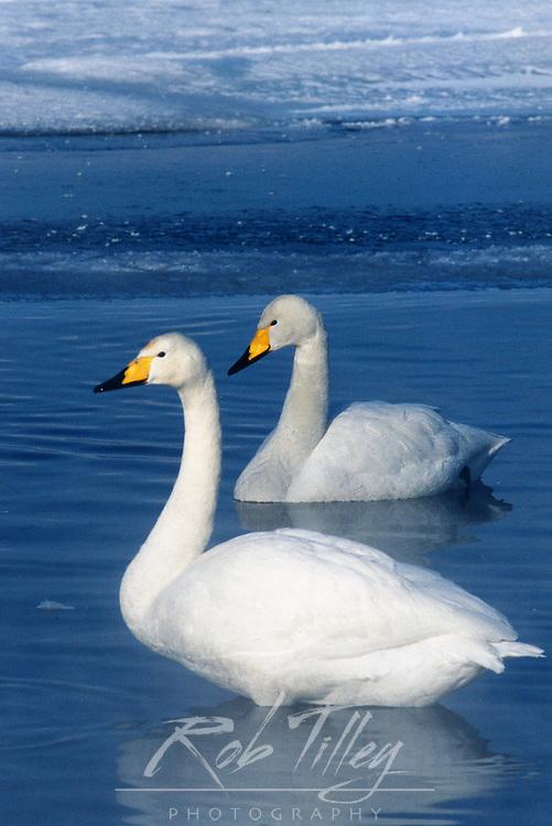 Whooper Swan (Cygnus cygnus), Kussharo Lake, Akan NP, Hokkaido, Japan