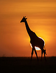 Kenya, Olare Motorogi Conservancy, reticulated giraffe (Giraffa camelopardalis)