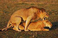 African Lion ((Panthera leo), pair mating, Masai Mara, Kenya, Africa
