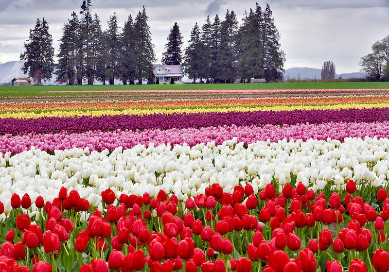 Tulip fields and farm house. Tulip Town. Mt. Vernon. Washington