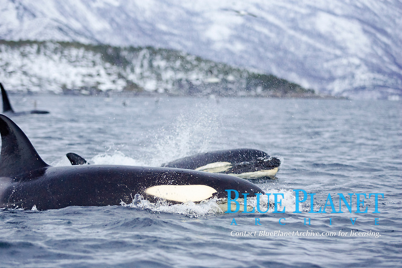 Killer whales, Orcinus orca, Pair of killer whales hunting herring during carousel feeding event, Tommeras fjord, Nordland, Arctic Norway, North Atlantic