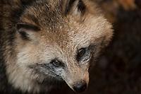 A portrait of a Japanese raccoon dog, or tanuki.