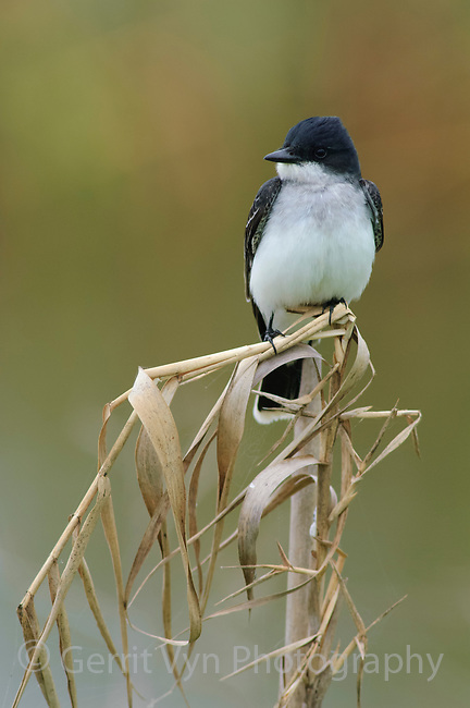 Adult Eastern Kingbird (Tyrannus tyrannus). Anahuac NWR, Texas. March.