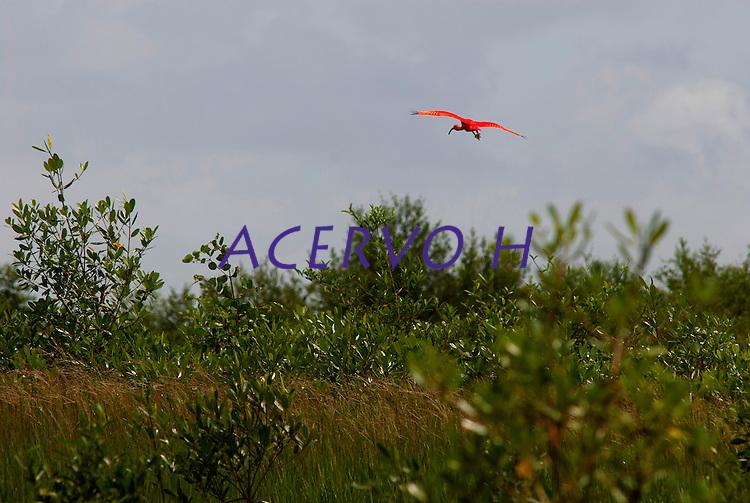 Ave guará sobrevoando o manguezal da Reserva Extrativista Marinha Mãe Grande no litoral do Pará, na foz do rio Amazonas. Os guarás se alimentam de crustáceos e algumas espécies de peixes, e sua plumagem é de um vermelho muito intenso ocasionado por sua alimentação à base de um caranguejo que possui um pigmento que tinge as plumas. <br /> Curuçá, Pará, Brasil.<br />  Foto: Paulo Santos <br /> 17/05/2009